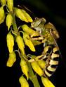 Striped Sweat Bee - Genus - Agapostemon - male