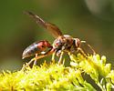 Great Golden Digger Wasp ? - Polistes metricus