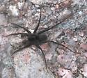 Black Spider - Pardosa