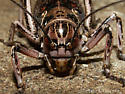 Uhler's Hump-winged Cricket - Cyphoderris monstrosa - female