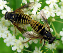 Syrphid Fly - Temnostoma alternans - male - female