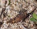 Band-winged Grasshopper: Subfamily Oedipodinae - Lactista azteca
