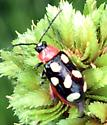 Spotted beetle - Omophoita cyanipennis