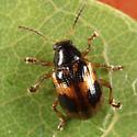 leaf beetle - Paria quadrinotata