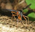 Tipulidae  - Tanyptera dorsalis - female