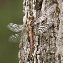 unidentified dragon9640 - Ladona julia
