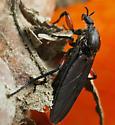 Bibio female? - Bibio femoratus - female