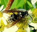 Dolichovespula maculata male? - Dolichovespula arctica - female