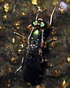 Soldier Fly - Merosargus caeruleifrons