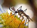 Mosquito? - Toxorhynchites rutilus - male