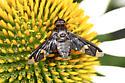 Bee Fly - Exoprosopa decora