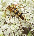 Cerambycidae, Lepturinae, Strangalia luteicornis? - Strangalia luteicornis