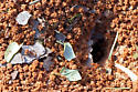 Atta texana - Texas Leaf Cutting Ant - Atta texana