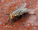 Sarcophagidae -- possible to nail down a specific sp.?