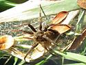 Fishing Spider with young spiderlings - Dolomedes