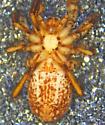 Zora hespera female - Zora hespera - female