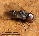 Satellite Fly? Possibly Euphytomima sp.?