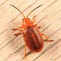 leaf beetle - Tricholochmaea kalmiae