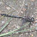 Gomphus - Phanogomphus borealis - male