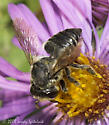 Leaf-cutting Bee - Megachile mendica - female