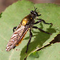 Gold-backed robber fly - Laphria