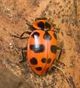 Spotted Lady Beete - Coleomegilla maculata