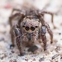 Salticidae - Habronattus coecatus - female