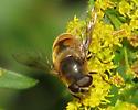 A fly - Eristalis tenax