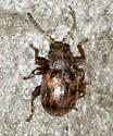 leaf beetle - Xanthonia decemnotata