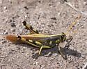 Black and yellow grasshopper - Schistocerca albolineata - male
