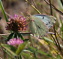 Sulphur - Colias eurytheme - female