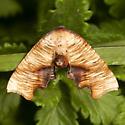 Fervid Plagodis - Hodges#6843 - Plagodis fervidaria