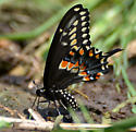 Papilio polyxenes? - Papilio polyxenes
