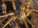 Uknown spider--Fishing Spider or Wolf Spider - Tigrosa aspersa