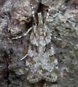 Moth ID - Scoparia