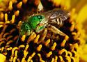Newport Beach Bee - Agapostemon melliventris - female
