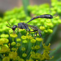 Carrot Wasp - Gasteruption - female