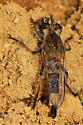 Robber Fly - Efferia? - Efferia albibarbis - male