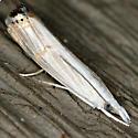Graceful Grass-veneer Moth - Hodges #5450 - Parapediasia decorellus