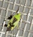 Reuteroscopus ornatus? - Reuteroscopus