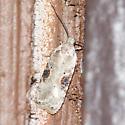 Poison Hemlock Moth - Agonopterix alstroemeriana