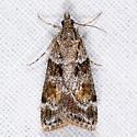 Cosipara tricoloralis (T) - Cosipara tricoloralis
