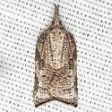 Omnivorous Platynota - Hodges #3745 - Platynota rostrana