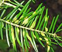 Balsam gall midge galls on fir - Paradiplosis tumifex