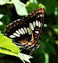 # 207 - Limenitis lorquini