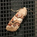 Moth - Schinia tertia