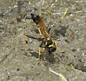 Black & yellow mud-duabers collecting mud - Sceliphron caementarium - female