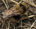 ID for Bombus? - Bombus melanopygus - male