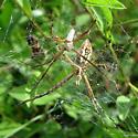 Look like Argiopes - Argiope trifasciata - male - female