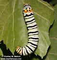 Gerrodes minatea larva - Gerrodes minatea